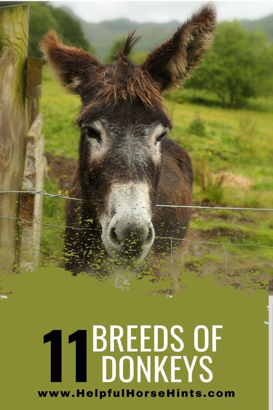 11 Unique Donkey Breeds from helpfulhorsehints.com